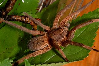 <i>Ancylometes</i> Genus of spiders