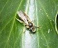 Andrena chrysoceles (Hawthorn Mining Bee), stylopised (37584045516).jpg