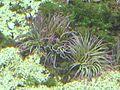 Anemonia sulcata.JPG