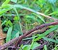 Anisoptera at Rajbiraj, Saptari, Nepal (2).jpg