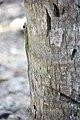 Anolis extremus-m01.jpg