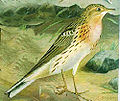 Anthus cervinus.jpg