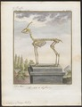 Antilope dorcas - skelet - 1700-1880 - Print - Iconographia Zoologica - Special Collections University of Amsterdam - UBA01 IZ21400073.tif