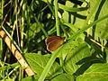 Aphantopus hyperantus (14332586039).jpg