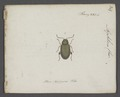 Aphthona - Print - Iconographia Zoologica - Special Collections University of Amsterdam - UBAINV0274 036 08 0016.tif