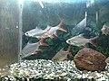 Aquarium of Ornamental fishes in Black Thunder(theme park) IMG 20180517 150049844 LL.jpg