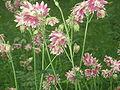 Aquilegia vulgaris(nova).jpg