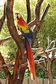 Ara macao -Happy Hollow Park and Zoo, San Jose, California, USA-8a.jpg
