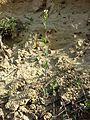 Arabis auriculata sl12.jpg