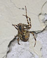 Araneus diadematus downside 3.jpg