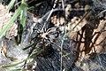Aranha - Família Lycosidae - Serra de Caldas.jpg