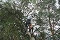 Arborist working at tree near Třebíč, Třebíč District.jpg