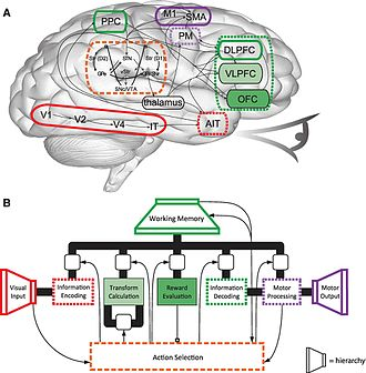 Mind - Simplified diagram of Spaun, a 2.5-million-neuron computational model of the brain. (A) The corresponding physical regions and connections of the human brain. (B) The mental architecture of Spaun.