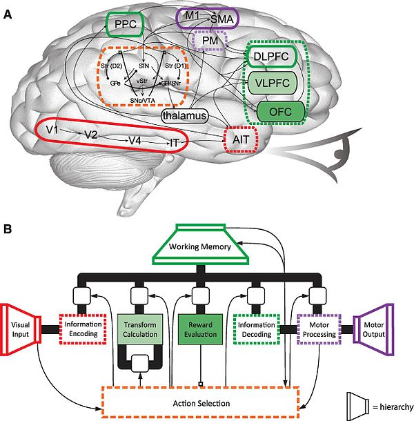 Simplified diagram of Spaun, a 2.5-million-neuron computational model of the brain. (A) The corresponding physical regions and connections of the human brain. (B) The mental architecture of Spaun. Architecture of Spaun.jpeg
