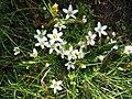 Arenaria ciliata.jpg