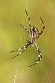 Argiope bruennichii hembra (4856446390).jpg