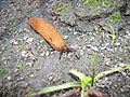 Arion lusitanicus Spanish slug-3.jpg