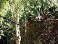 Ariramba em rio taquari 01.jpg