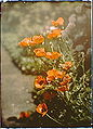 Arnold Genthe-California golden poppies, Autochrome.jpg