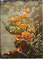 Arnold Genthe-California golden poppies, Autochrome.jpg