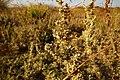 Artemisia gallica40289.jpg