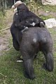 Artis Mother gorilla Dafina with baby gorilla Douli on her back - Artis Royal Zoo (10037538423).jpg