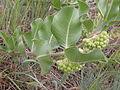 Asclepias viridiflora (3726509831).jpg
