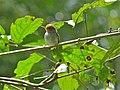 Ashy Tailorbird (Orthotomus ruficeps) (8077423015).jpg