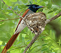 Asian Paradise Flycatcher (Terpsiphone paradisi)- male with a feed at nest W IMG 9293.jpg