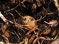 Asparagus densiflorus 16.jpg
