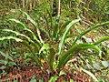 Asplenium scolopendrium. Llingua de güe (detalle soros).jpg