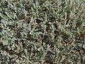 Astragalus angustifolius 2.jpg