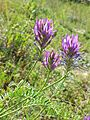 Astragalus onobrychis sl6.jpg