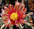 Astrophytum flower 203.jpg