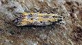 Athrips tetrapunctella (47998817707).jpg