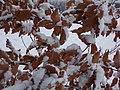 Atlas roslin pl Buk zwyczajny 3407 6990.jpg