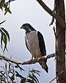 Augur buzzard ( Buteo augur) - Flickr - Lip Kee (1).jpg