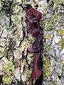 Auricularia auricula-judae 111275978.jpg
