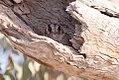 Australian Owlet-nightjar (Aegotheles cristatus) (8079579387).jpg