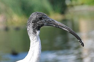 Australian white ibis - The feathered head and neck of a juvenile