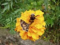 Autographa gamma and Bombus terrestris or B. lucorum 53.jpg