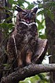 BIRD GREAT HORNED OWL BIGI-PAN NICKERIE SURINAM AMAZONE SOUTH-AMERICA (32976524876).jpg