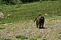 Baboon, Bale Mountains National Park (3) (29174668212).jpg