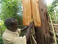 Back cloth preparation from a fig tree in Uganda 02.jpg
