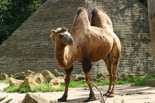 A shaggy two-humped camel