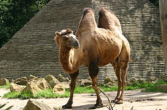 ���� ����� ����� ��������� 240px-Bactrian_Camel