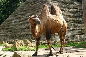Camel - Bactrian camel  (Camelus bactrianus)