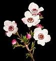Baeckea grandiflora - Flickr - Kevin Thiele.jpg