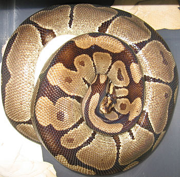 English: Female ball python (Python regius) br...