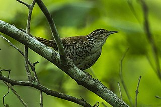 Banded wren species of bird